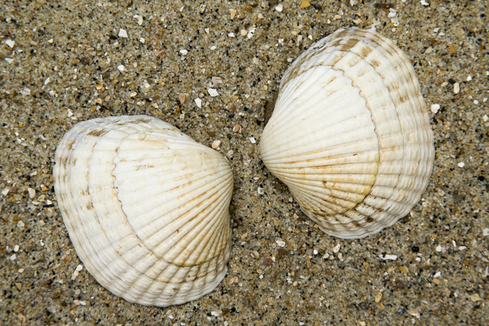 Shells of common cockle