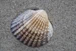 Shell of tuberculate cockle