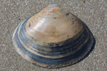 Shell white trough clam