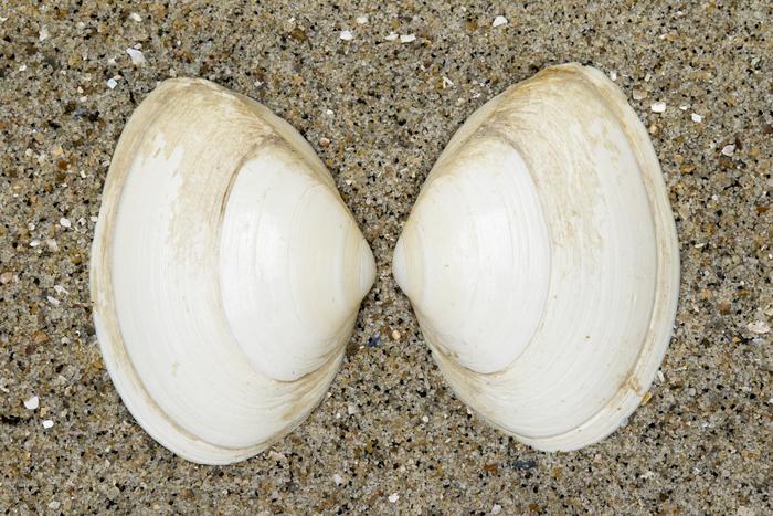 Shells thick trough shell