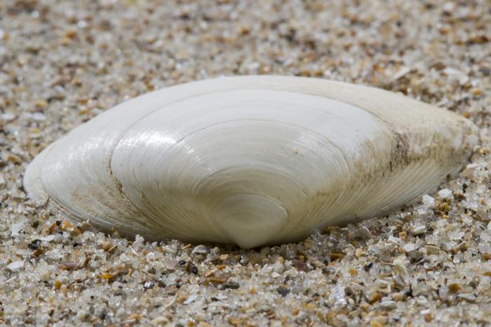 Shell thick trough shell