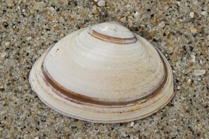 Fossile shell elliptical trough shell