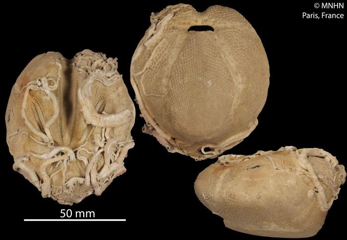 Ova canalifera (MNHN-IE-2013-10534)