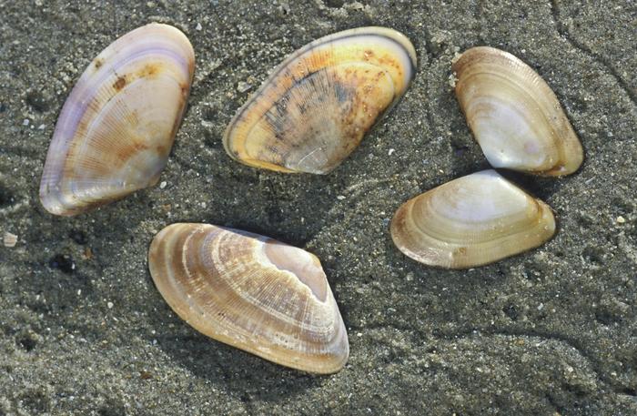 Shells of banded wedge shells