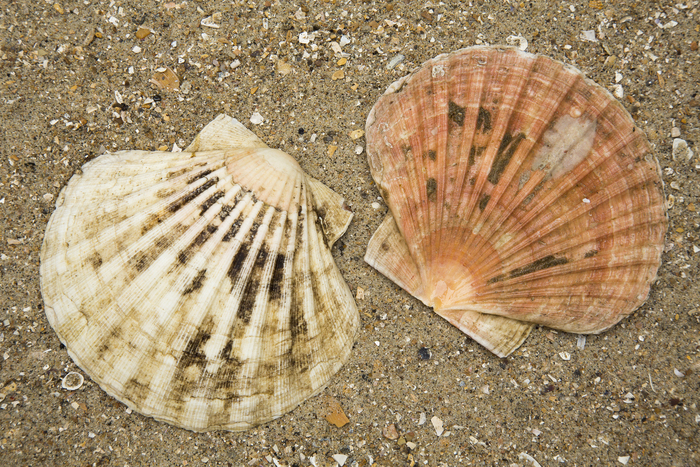 shells of great scallop