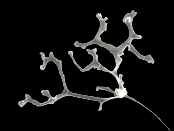 Polyplacotoma mediterranea - The Mediterranean Branching Placozoan