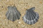 Fossile shells of Flexopecten flexuosus