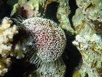 Asthenosoma marisrubri, Small Giftun, Red Sea