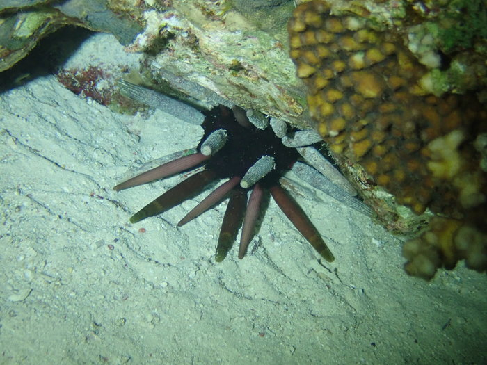 Phyllacanthus imperialis, Beacon Rock Dunraven, Red Sea