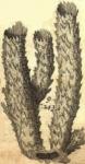 Spongia typhoides muricata (=Callyspongia (Cladochalina) aculeata)