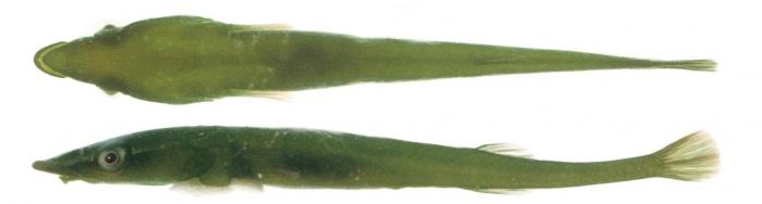 Barryichthys algicola - The Green Rat Clingfish