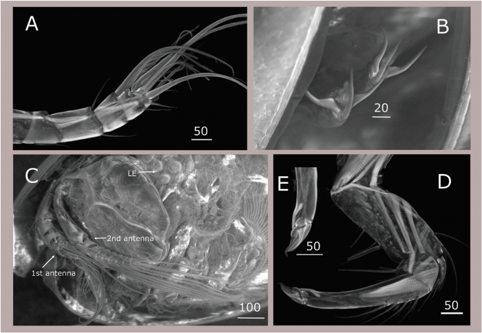 Maristella chicoi - The 'Star of the Sea' Seed Shrimp