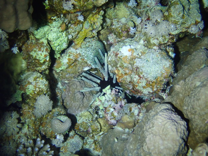 Phyllacanthus imperialis, Suil Island, Red Sea