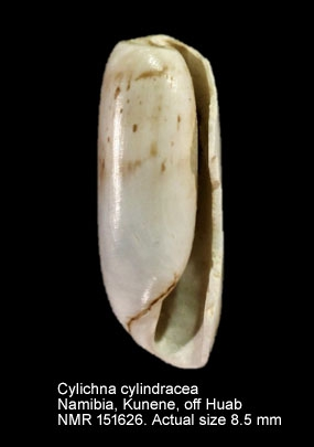 Cylichna cylindracea