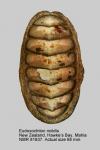 Eudoxochiton nobilis