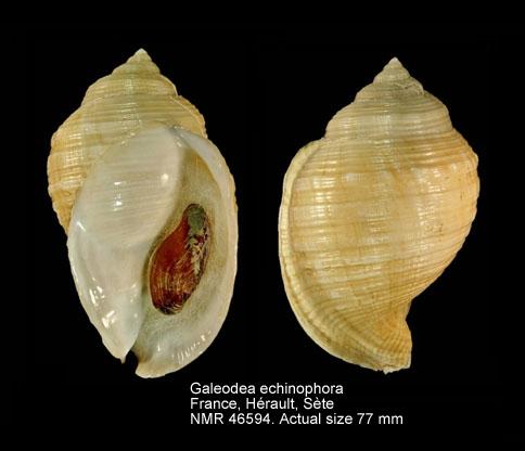 Galeodea echinophora