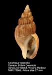 Amphissa versicolor