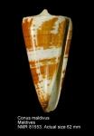 Conus maldivus