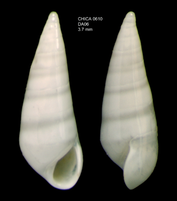 Melanella doederleini (Brusina, 1886)Shell from Gulf of Cadiz, INDEMARES/CHICA 0610 cruise, dredge DA6, 478 m (3.7 mm)