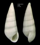Melanella doederleini (Brusina, 1886)Shell from Gulf of Cadiz, INDEMARES/CHICA 0610 cruise, dredge DA6, 478 m (3.7 mm)