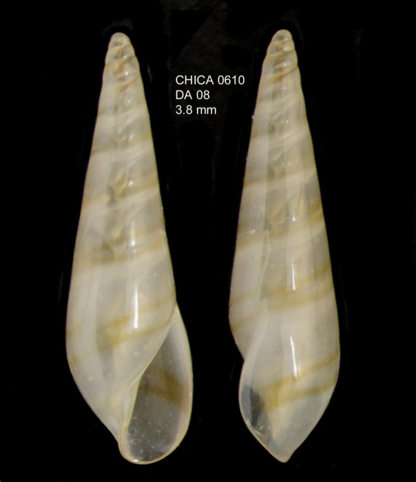Eulima bilineata Alder, 1848Gulf of Cadiz, INDEMARES/CHICA 0610 cruise, dredge DA8, 486 m (3.8 mm)