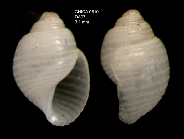 Acteon monterosatoi Dautzenerg, 1889Gulf of Cadiz, INDEMARES/CHICA 0610 cruise, dredge DA7, 495 m (3.1 mm)