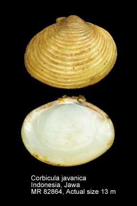 Corbicula javanica