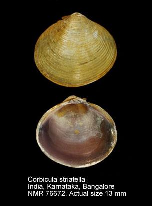 Corbicula striatella