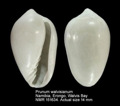 Prunum walvisianum
