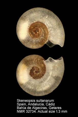 Skeneopsis sultanarum