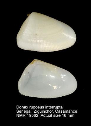 Donax (Donax) rugosus interruptus