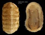 Hanleya hanleyi (Bean, 1844)Specimen from Gulf of Cadiz, INDEMARES/CHICA 0610 cruise, dredge DA5, 422 m (4.7 mm)