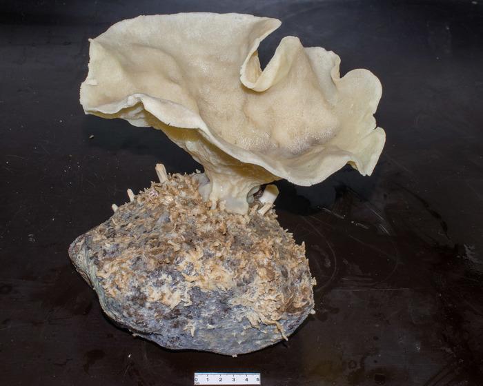 Plicatellopsis bowerbanki stalked sponge on rock