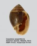Cassidula vespertilionis