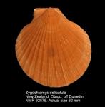 Zygochlamys delicatula