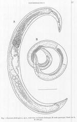Fusivermis fertilis Tchesunov, 1996