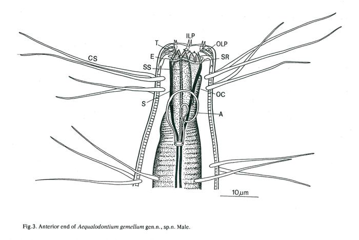 Aequalodontium gemellum - Head