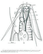 Apodontium bellum - Anterior end