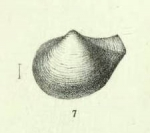 "Neaera ruginosa Jeffreys, 1882Original figure, pl. 71 fig. 7, from ""Porcupine"" 1870 sta. 17, off W. Portugal"
