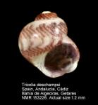 Tricolia deschampsi