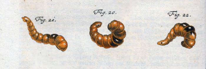 Branchiobdella astaci as first illustrated by  Rösel von Rosenhof in 1755