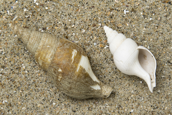 Shells Colus sp.