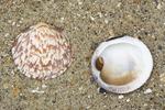Shells dog cockle