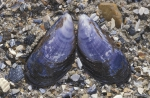 Shells blue mussel