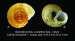Circulus novemcarinatus