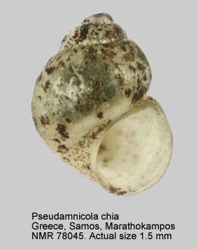 Pseudamnicola chia