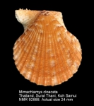 Mimachlamys cloacata
