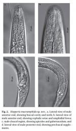 Hopperia macramphida