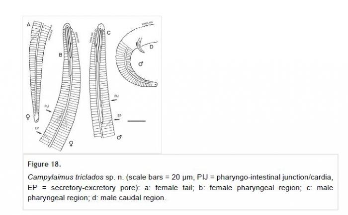 Campylaimus triclados