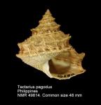 Tectarius pagodus